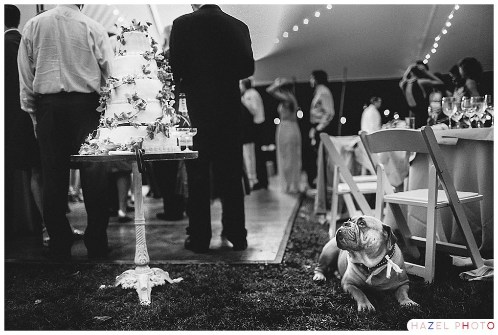 Dog looking at wedding cake with desire. Documentary Wedding Photography Hazel Photo Bay Area